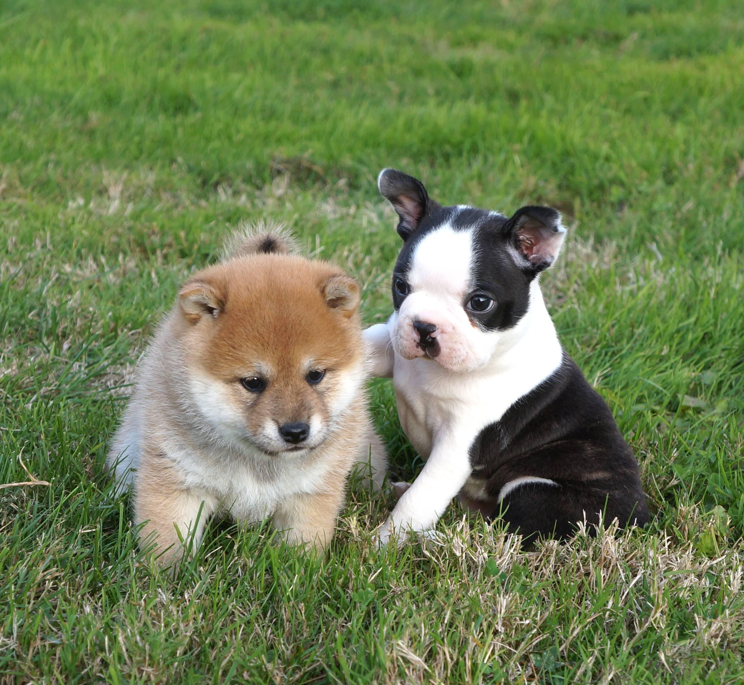 Chiots Boston Terrier et Shiba Inu