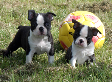 photo bébés boston terrier