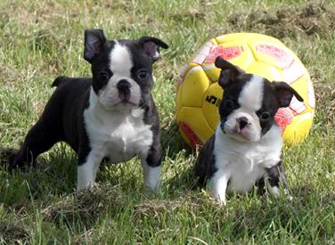 photo bébés boston terrier