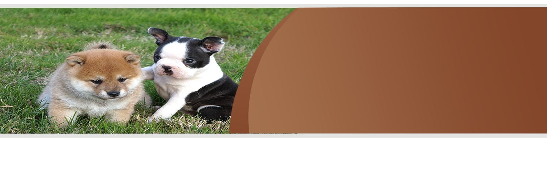 Chiots boston terrier et Chiba Inu