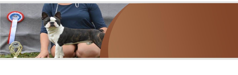 Selection boston terrier